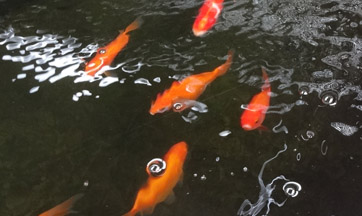 Koi Fish for sale Fallston Aquatic Center Harford County Maryland